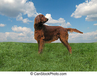 Red setter     - The Irish setter staying on the grass
