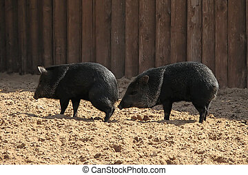 Acquaintance - two wild black pigs in the Moscow Zoo