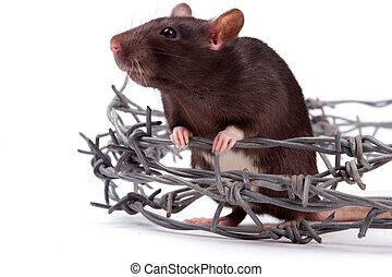 rat - Rats very clever and artful rodents