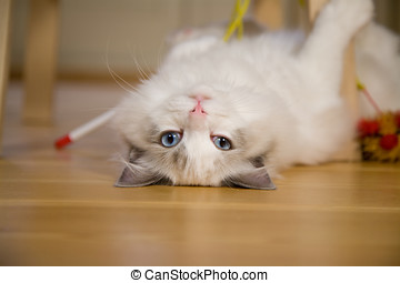 Playful kitten - Cute kitten lying upside down looking at...