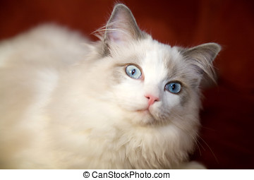 Surprised look - Cute ragdoll cat looking a bit surprised