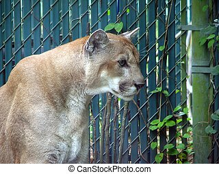 cougar  - A cougar in captivity at zoo in Florida