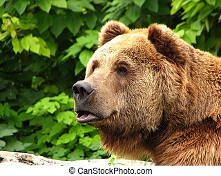 kodiak brown bear - A kodiak brown bear taken in a zoo in...