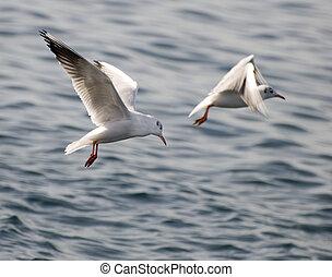 seagull - sea gull above the sea close up shoot