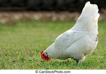 Hen eating in an open field - Image shows a white hen...