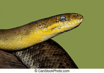 Russian ratsnake - Close-up portrait of a Russian ratsnake...