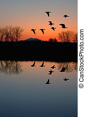 Evening Geese - Reflection of Winter Evening Geese Flying...