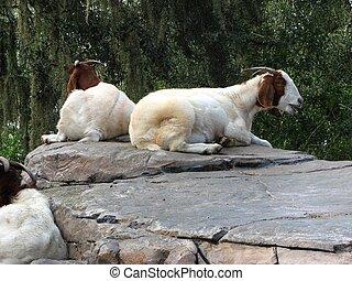 Descansar, cabras, pedras