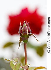 Red rose in perspective - a perspective of two red roses,...