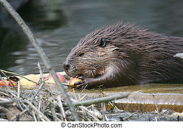 Beaver - Canadian Beaver in a german zoo