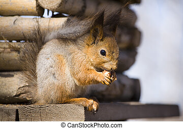 squirrel with a nut in spring day