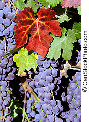Red Wine Grapes - Red Grapes at Harvest Time
