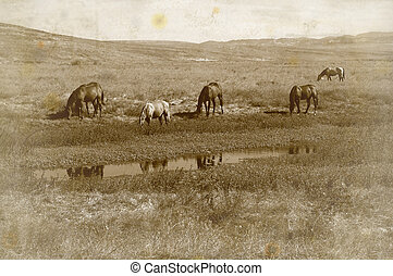 Range Horses - Grunge Antique Photo Effect of Range Horses...