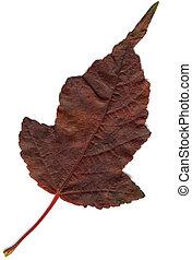Red Oak Leaf XL - Hi-res scanned image of an oak leaf