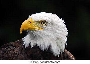 amerikai, kopasz, sas, (Haliaeetus, leucocephalus)