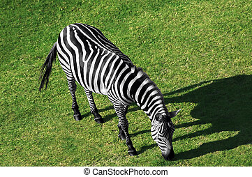 Zebra - Aerial view of a grazing zebra