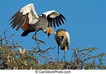 Crowned cranes - Displaying crowned cranes Balearica...