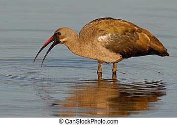 Hadeda Ibis Bostrychia hagedash standing in water, Kruger...