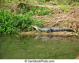 young amercian alligator - a young american alligator...