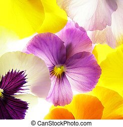 colorful viola - close-up of colourful viola tricolor...