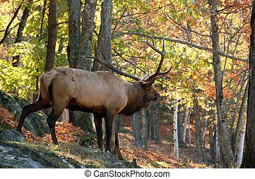 Elk (Cervus canadensis) in autumn - A big elk (Cervus...