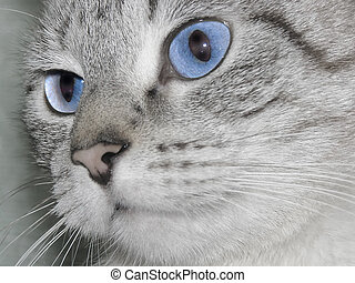 cat eyes - snout of a cat with blue eyes