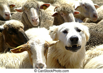 dog and sheeps - a white dog between sheeps