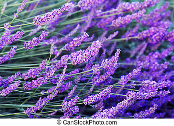 Lavender flowers - Image shows stalks with lavender flowers...