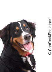 Happy dog - Cute and young bernese mountain dog on white...