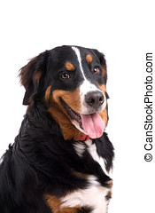 Happy dog - Happy panting bernese mountain dog with his...
