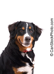 Smiling dog - Cute Bernese mountain dog on white background