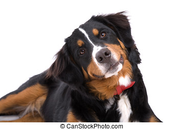 What am I hearing - Bernese mountain dog paying close...