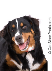 Adorable dog - Adorable young Bernese Mountain dog on white...