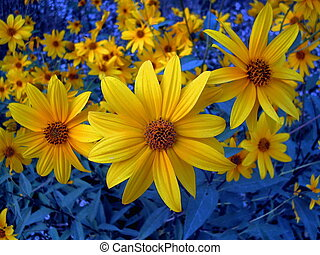 Clarity in yellow - Wildflowers,Yellow and blue contrast