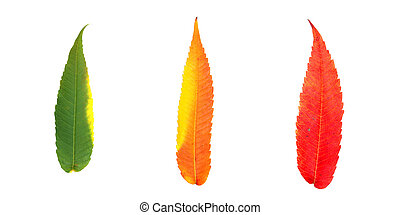 three autumn leaves - Three leaves in fall color: green,...