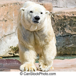 Polar Bear - Polar bear pacing in his zoo enclosure