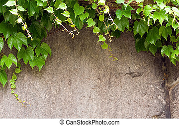 Ivy Background - Ivy vine climbing up a stone wall