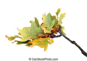 twig of the oak - branch of autumn oak leaves, isolated on...