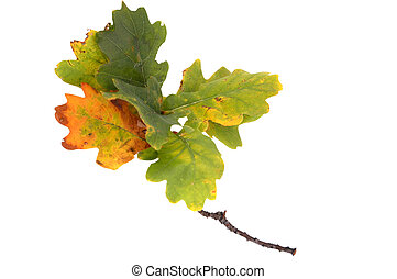 fall twig of the oak with leaves - branch of autumn oak...