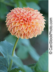 Perfect Dahlia form - A perfectly formed peach colored...