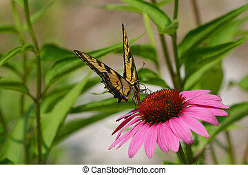 Yellow Swallowtail and Purple Coneflower - Butterfly and...