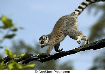 Climbing Lemur Catta - Lemur catta climbing against a blue...