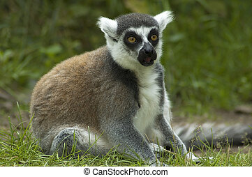 Shocked Lemur Catta - Lemur catta looking shocked, as if he...