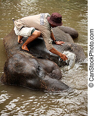 Elephant keeper - The man washes the elephant