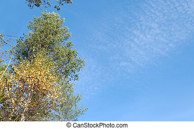 Birch, Pine and Clouds - Autumn birch and pine with a fluffy...