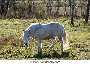 White Horse - A white horse, disturbed from eating.