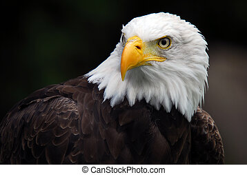 American Bald Eagle Haliaeetus leucocephalus - Portrait of...