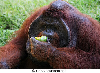 Orangutan - The orangutan close-up eats a mango