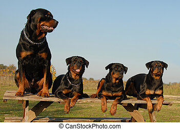 four rottweilers - four watchind dogs: family of purebred...