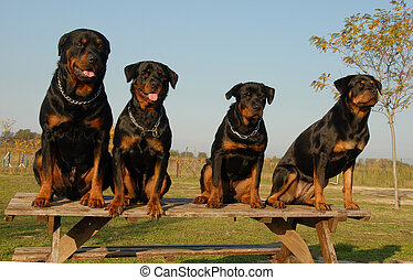 family of rottweiler - four watchind dogs: family of...